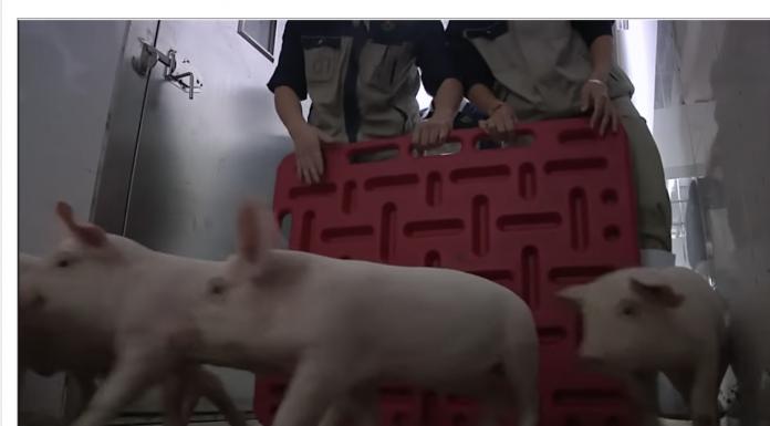 swine flu china