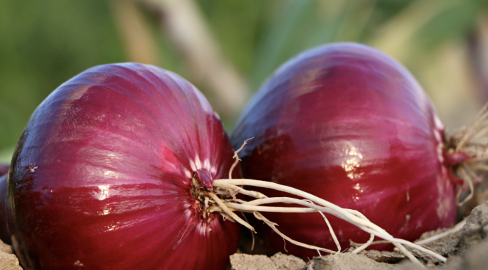 Red onions in the field